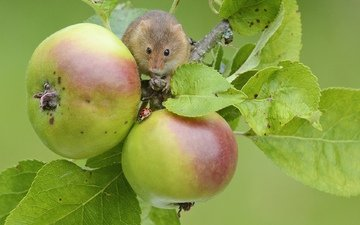 apples, mouse