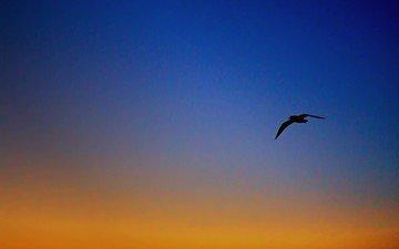 небо, вечер, полет, крылья, чайка, птица