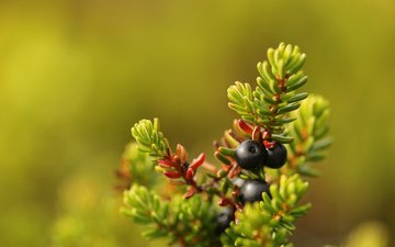 needles, macro, berries, fruit, bokeh, сrowberry
