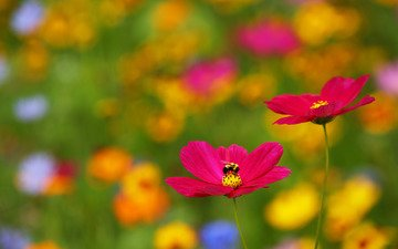 цветы, природа, насекомое, размытость, пчела, космея