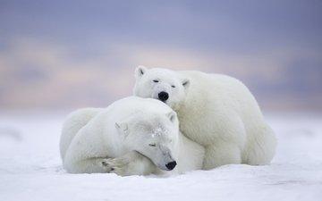 сон, парочка, отдых, медведи, аляска, белые медведи, национальный арктический заповедник