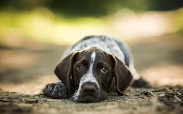face, look, dog, german, wire-haired, drathaar, pointer