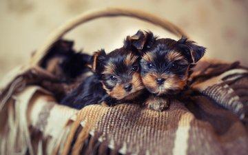 корзина, щенки, плед, корзинка, собаки, йокширский терьер