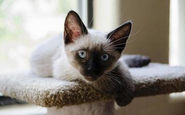 кошка, котенок, сиамский, aaron bachler