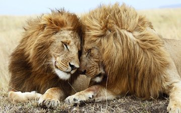 nature, lions, predators, friendship