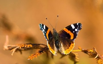 macro, insect, background, butterfly, sprig