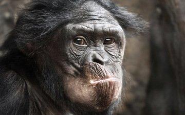 животное, обезьяна, примат