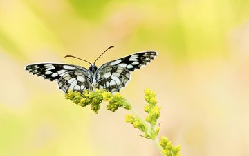 yellow, background, flower, butterfly, plant, black and white