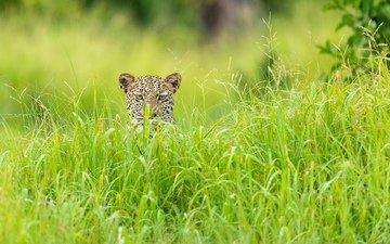 трава, леопард, африка, зелёный сезон