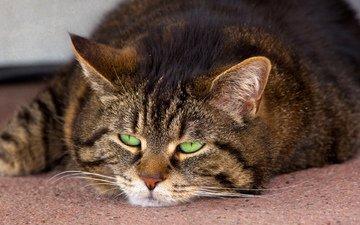 глаза, морда, кот, усы, кошка, лежит, зеленые, полосатый