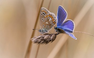 background, insects, butterfly, spike, two