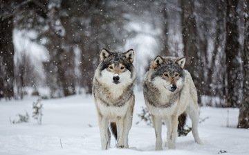 снег, природа, волки
