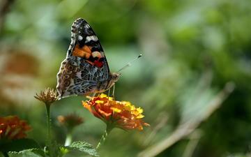 природа, макро, насекомое, цветок, бабочка