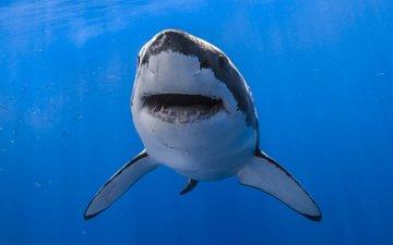 вода, пасть, акула