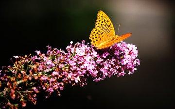 природа, насекомое, цветок, бабочка, мотылек