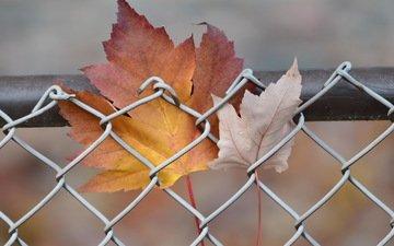 природа, листья, осень, забор, сетка, кленовый лист