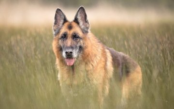grass, look, dog, each, language, german shepherd