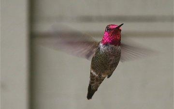 полет, крылья, птица, колибри