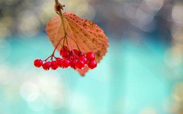 природа, макро, лист, ягоды, калина