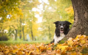 дерево, листья, осень, собака