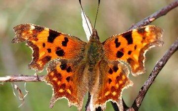 насекомое, фон, бабочка, размытость, разноцветная, веточка