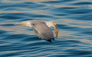 море, чайка, птица, рыба