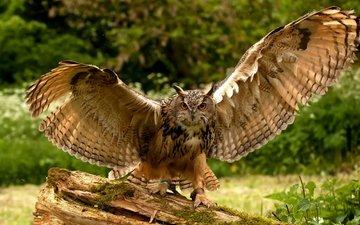 сова, природа, крылья, птица, перья, дикая природа, перышки, крылышки,  сова, птаха