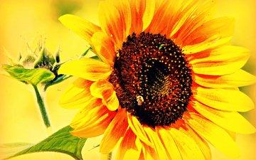 листья, цветок, лепестки, подсолнух