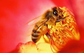 природа, насекомое, цветок, пчела