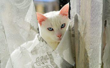 глаза, кот, взгляд, киска, занавески, котэ