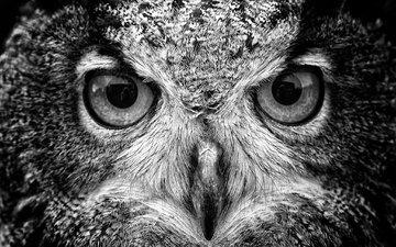 сова, взгляд, чёрно-белое, птица, клюв, хищная