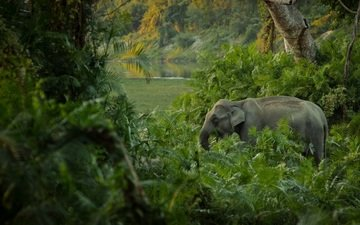 слон, джунгли, заросли