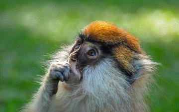 шерсть, взгляд, обезьяна, примат