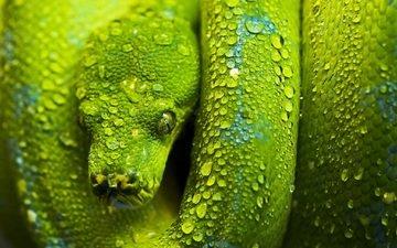зелёный, змея, чешуя, голова