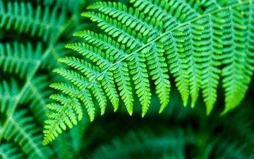 природа, листья, зеленые, растение, папоротник