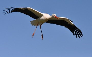 flight, bird, stork