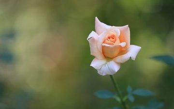 природа, цветок, роза, осень, розовая