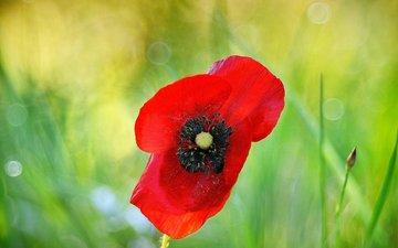 макро, цветок, красный, мак, растение, боке