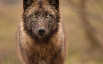 природа, взгляд, хищник, волк