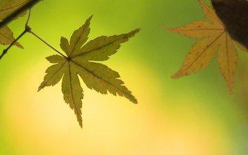 природа, осень, лист, клен