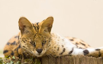 face, cat, look, serval