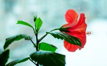 цветы, цветок, красный, окно, цветёт, гибискус