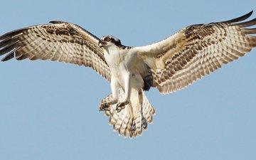 полет, птица, скопа