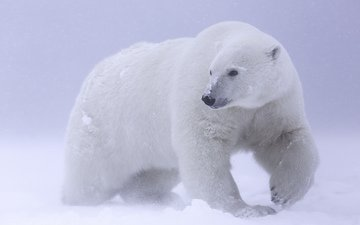 snow, polar bear, arctic