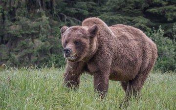 природа, медведь, медвед, гризли