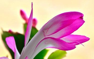 природа, цветок, лепестки, растение, кактус, экзотика