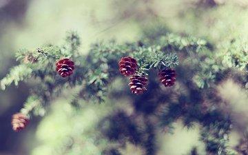 ветка, елка, шишки, сосна