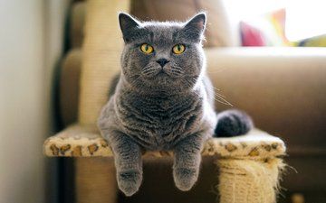 кот, серый, британец
