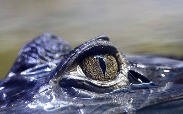 глаза, вода, крокодил, рептилия, глазок, пресмыкающееся, аллигатор