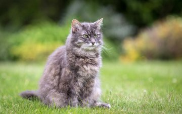 трава, лето, кошка, сидит, серая, лужайка, пушистая